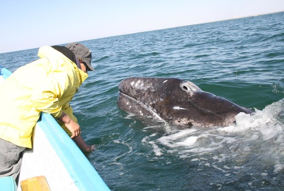 2012 Final Report of Gray Whale Research