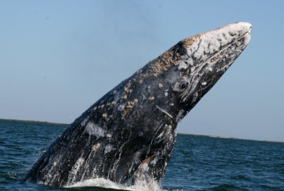Record High 2011 Gray Whale Count in Laguna San Ignacio