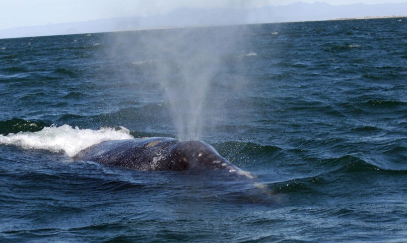 2010 Gray Whale Survey