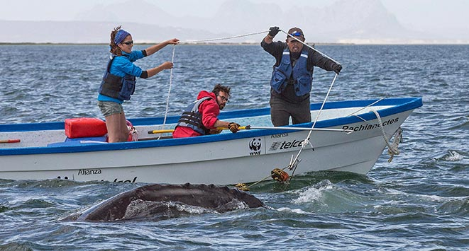 Scientists helping a whale who has been entangled