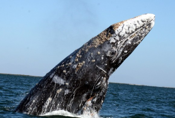 Gray whale jumping out of water with head barnacles by Anaid Lopez U