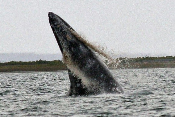 Gray whale jumping with sand gushing from the mouth