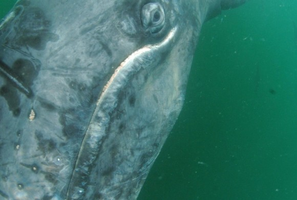 Young gray whale taken underwater by Sergio Martínez
