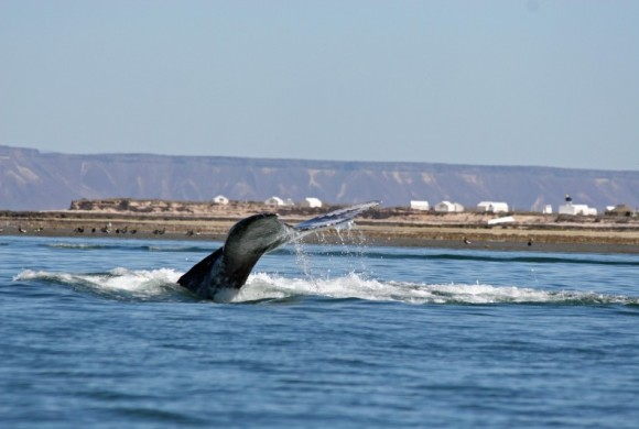 Whale fluke with the camp as a backdrop