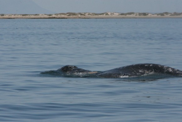 Top view of a gray whale surfacing
