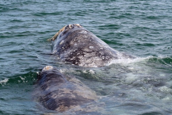 Mother gray whale with her young in Laguna San Ignacio