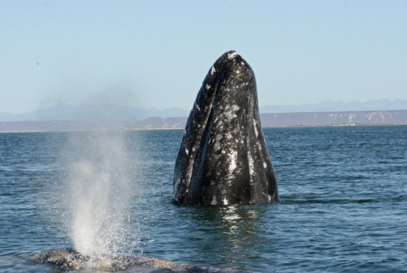solitary gray whales by Steven Swartz