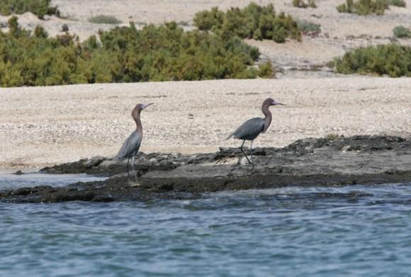 Two brown herrons walking by water