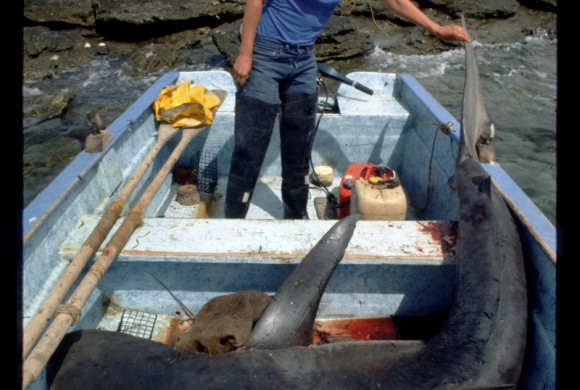 Man in a small boat with a captured shark