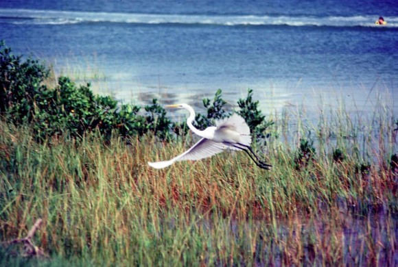 White heron flying into grass