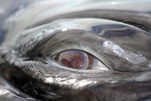 Closeup picture of a whale's eye
