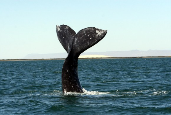 Gray whale tail straight up in the air