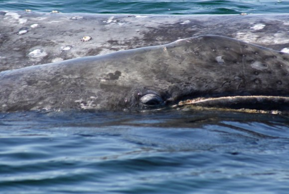 Side photo of a baby gray whale.