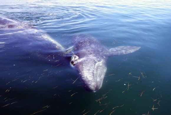 A baby whale swimming sideways as mother swims up.