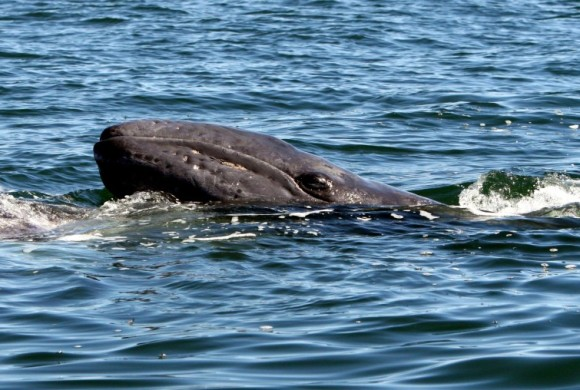Gray whale surfacing through water