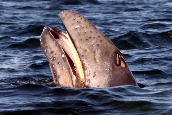 Gray whale at surface showing off its teeth