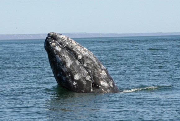 The head of a whale breaking through the water