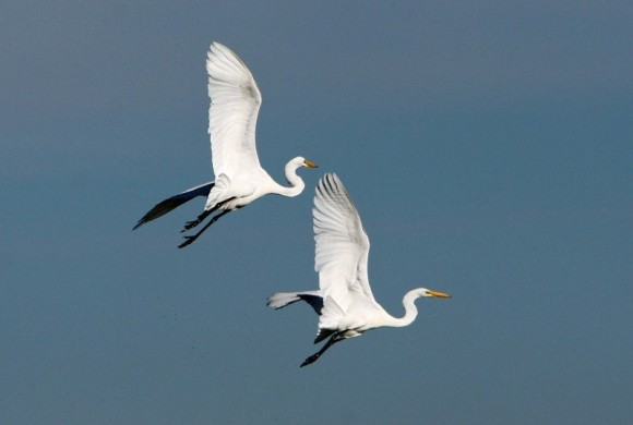 Two Egrets flying