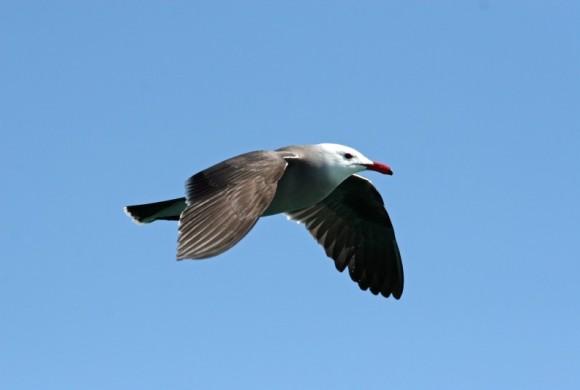 Bird flying in clear skies