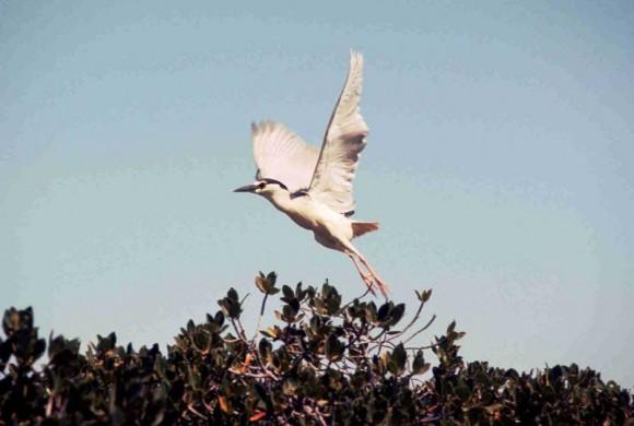 White Herron flying over mangroves