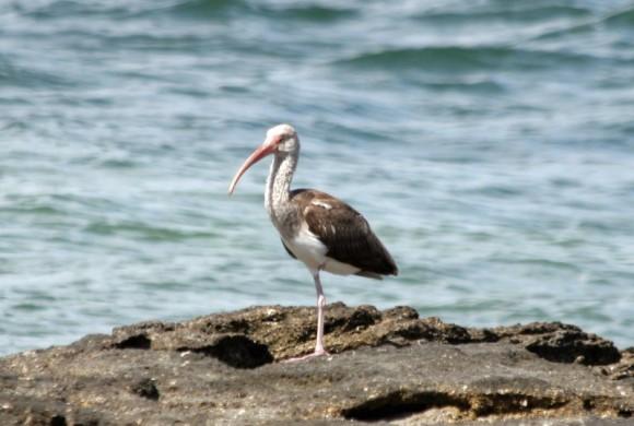 Bird standing on a rock over the ocean