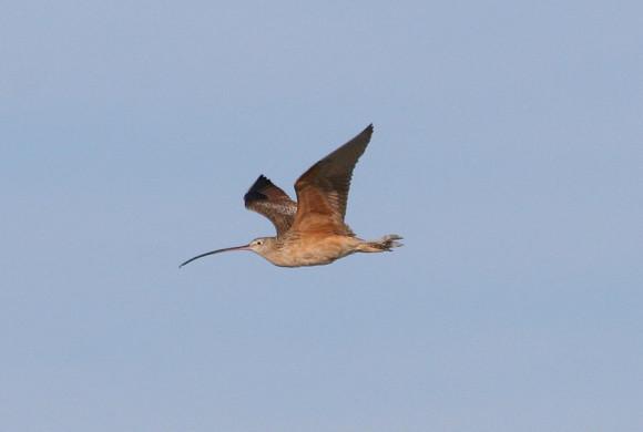 Long beaked bird flying against grey skies