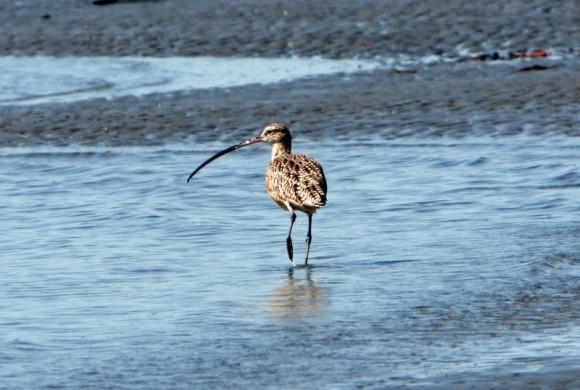 Bird with long beak standing in shallow water
