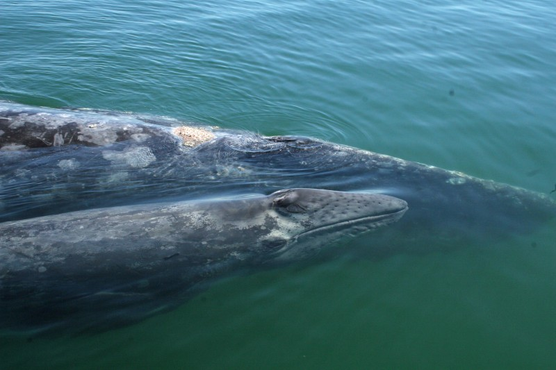 Gray Whale Mother and Baby