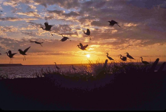 Egrets flying into the sunset