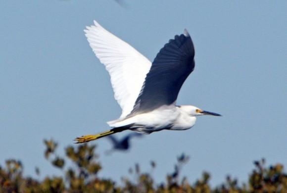 Egret flying above bushes
