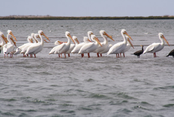 Pelicans standing in shallow water