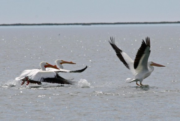 Pelicans taking off from water