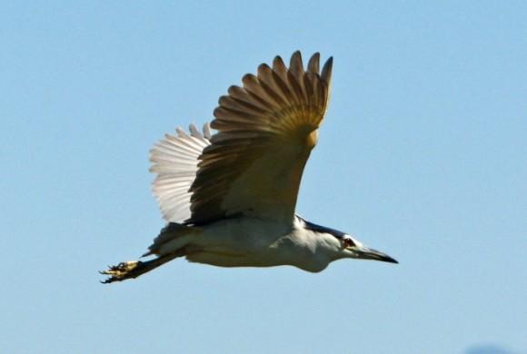 Heron flying against blue skies