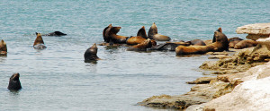 Sealions at Isla Pelicano