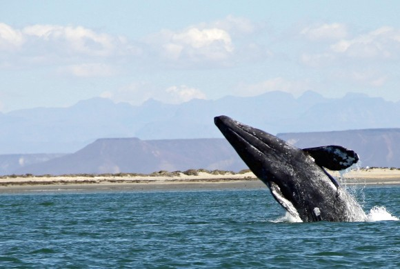 Sounds of Gray Whales