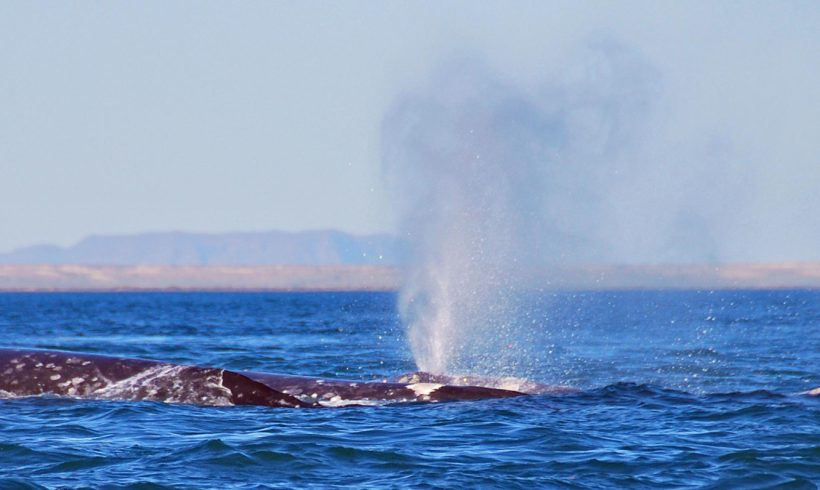 How many gray whales visit Laguna San Ignacio?