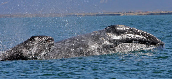 Understanding Gray Whale Vocal and Surface Behavior