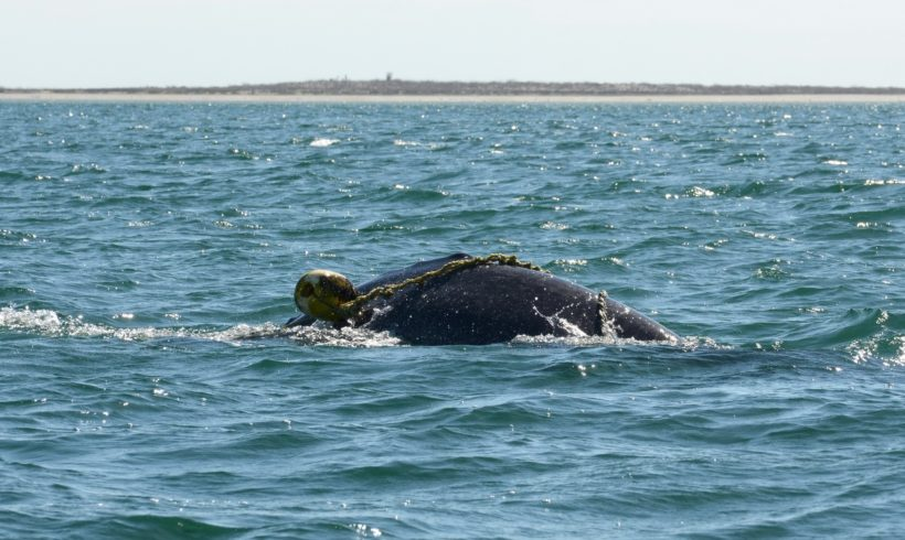 Another Gray Whale Saved in Laguna San Ignacio