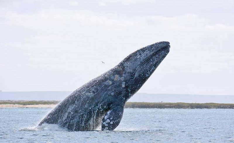 2018 Gray Whale Research Reports Available