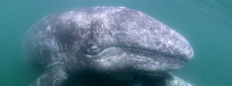 Two Weeks Remain to Support 2021 Gray Whale Monitoring!