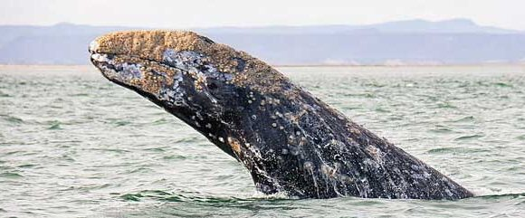 Annual Gray Whale Research Report for 2021